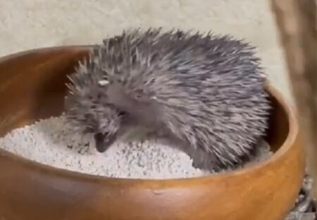 【小動物】愛らしいヒメハリテンレックが砂遊びする様子が話題にw