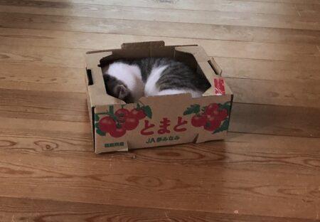 【ちっさ】トマト箱にすっぽり入ってる子猫、顔を出したらめっちゃ可愛いw