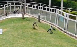 【パタパタパタパタ】ちょうちょを夢中で追いかけるペンギン2羽が話題にw