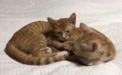 【こてん】くっついてくつろぐ子猫達の動画が破壊的可愛いさで話題にw