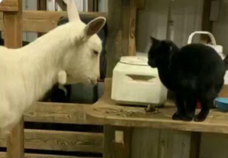【ひゃー】妊娠中のヤギの様子を見に来るねこと、お礼にねこを撫でるヤギ。可愛いすぎるやりとりが話題に