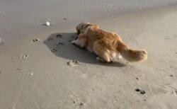 【そろりそろり】波が怖くてなかなかボールを取りに行けない犬が話題にw