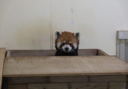 【ぴょこ】飼育員の気配を察したレッサーパンダ、自分で巣箱のふたをあけ顔をだすw