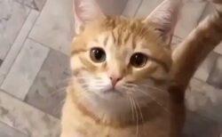 【たまらん】甘え鳴きがうますぎるあざとい猫が話題に「可愛いすぎるw」