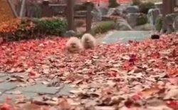 【ふわもふ】落ち葉の上を駆け回る2匹の子犬!たまらない可愛いさw