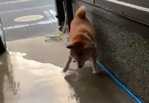 【w】散歩から帰った柴犬ちょびちゃん、自分で丁寧に足を洗う様子がたまらなく可愛い