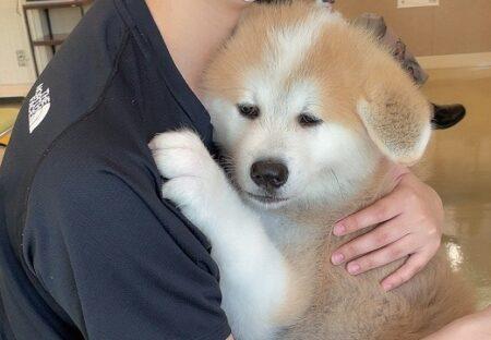 【予防接種】主さんにしがみついて離れない秋田犬(生後2か月)がたまらなく可愛いw