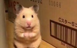 【あわわわわ】3日前に脱走したハムスター、発見時の動画が話題「表情w」