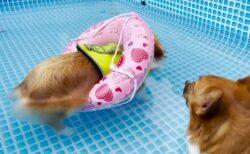 【激かわw】一生懸命泳いでいたコーギー、浮き輪で浮かぶことに気づくと・・・