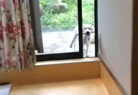 【w】お気に入りの棒を咥えているせいで部屋に入れない犬、可愛いすぎる