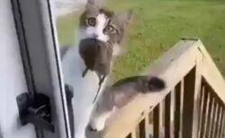 【これ見て!!】物凄い獲物を捕獲し持ち帰った美人猫さん、飼い主にアピールw