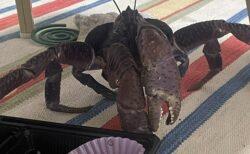 【世界最大の甲殻類】窓を開けておくと部屋にヤシガニが!沖縄 離島の日常がスゴイw