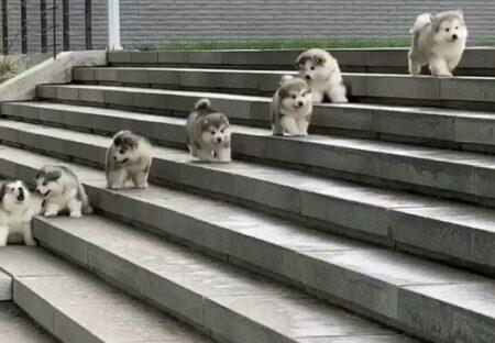 【ころころ】こっちに向かって走ってくる子犬集団!たまらなく可愛いw
