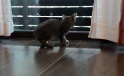 【w】部屋から外の嵐を見ている子猫、床が濡れてると思いあわあわしてしまう