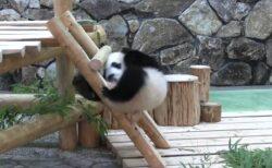 【えぇ】はしごに四苦八苦してるパンダが可愛いすぎるw
