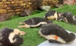 【もふもふ】ペンギン集団のお昼寝、可愛いすぎる様子が話題に