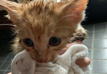 【感動】川に転落した子猫、偶然通りかかった女性がダイブして救助。無事保護される
