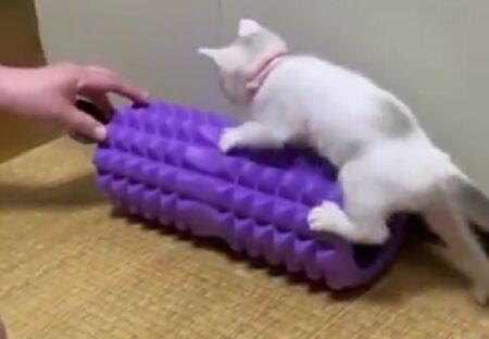 【プルプルプルプル】筋トレ機にのぼる楽しさを覚えてしまった子猫が話題に「声出たw」