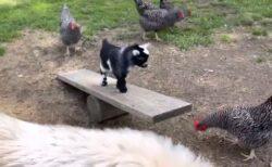【こわごわ】シーソーに初チャレンジするヤギの赤ちゃんが話題に「賢い!」