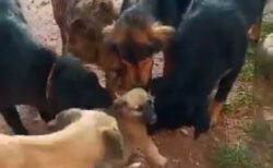 【動画】成犬ばかりの保護施設に来た子犬、大歓迎されるw