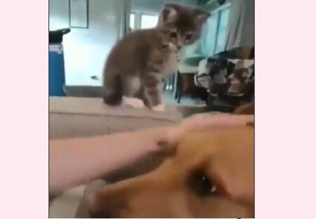 【爆笑】犬の頭を撫でる飼い主をじっと見ていた子猫、驚きの行動に「犬の表情w」