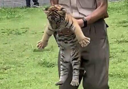 【よちよち】公開されたばかりのトラの赤ちゃん。何をしてもカワイイw