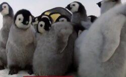 【たまらん】カメラを仕込んだペンギンのぬいぐるみ、ペンギンの群れに潜入!