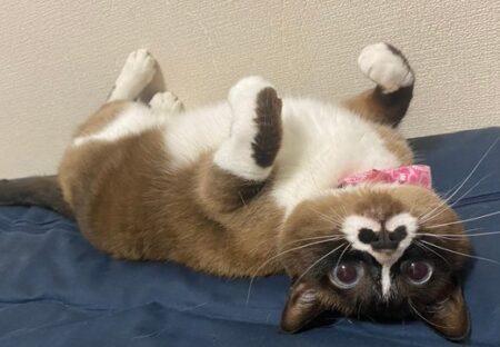 【たぬき?】鼻の模様が可愛いすぎる猫のへそ天が話題に「あざといw」