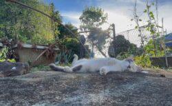 【日本の夏】猫が外で昼寝してるだけの動画が大好評「癒し効果すごい…」