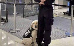 【ぴとっ】可愛いすぎる空港の探知犬が話題にw