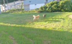 【躍動感w】広い土地ではしゃぎ、のびのび走り回る秋田犬2匹が話題に
