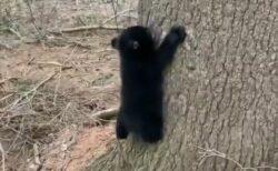 【・(ェ)・】がんばって木から降りる子ぐまが話題に「すごく慎重!」「カワイイw」