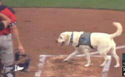 【動画】得意げに球場でお手伝いする犬が話題に「めっちゃ賢い!」