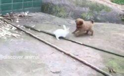 【最強コンビ】うさぎと子犬、はしゃぎながら遊ぶ動画が話題