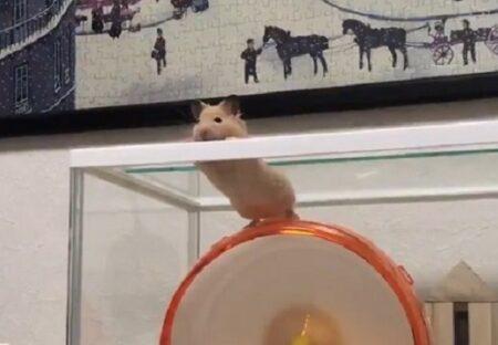 【動画】脱走の瞬間を目撃されたハムスター、固まってしまう「表情w」