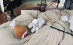 【愛】高熱で寝ている飼い主のベットに自分の宝物をせっせと運び、励まそうとする猫が話題に