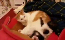 【えっw】となりでワガママする猫、すごい勢いで蹴り落とされる!