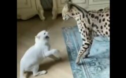 【シャー!!】猫と仲良くなりたいサーバルと、警戒しまくる猫。やり取りが素敵すぎる