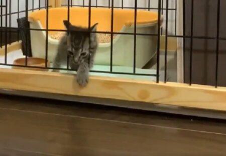 【w】立派なゲージを組み立ててもらった子猫、柵の間からあっさり脱出!