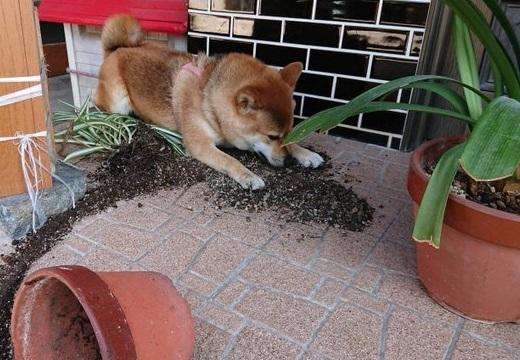 【w】ひっくり返しちゃった植木鉢を隠そうとしてる柴犬が話題に「表情がw」