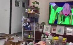 【爆笑】五輪閉会式を見た柴犬、賢く勇敢で警戒心が強い特性を発揮してしまうw