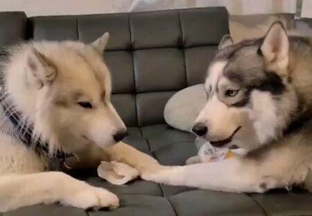 【動画】ハスキー同士の口喧嘩が話題に「絡まれてる方の顔w」「なに持ってるのw」