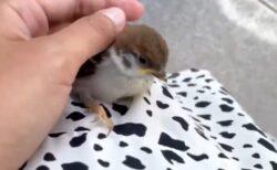 【ちょこん】美女のスカートに突然とまり撫でてもらう小さなスズメが話題に