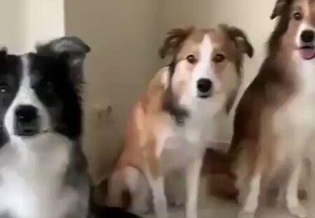 【全犬種で最高知能】ボーダーコリー、カメラを向けられると笑顔でポーズをきめるw