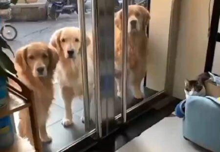【仲間おもい】中に入るよう言われたゴールデン3匹、可愛いすぎる行動が話題に