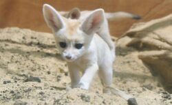 【砂漠のキツネ】フェネックの赤ちゃん、ニヤリ顔がたまらなく可愛いw
