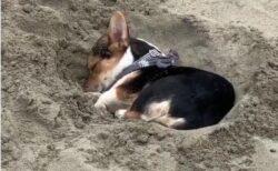 【zzz】砂浜で遊んでいたコーギー、爆睡してしまうw