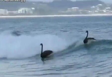 【動画】波乗りを楽しむ白鳥たちが話題に「大爆笑したw」