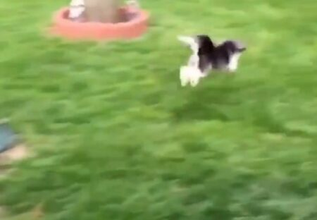 【ぴよーんぴよーん】ウサギに育てられた犬、動きがまるでウサギw