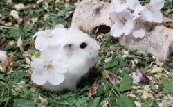 【動画】桜をまとった美人ハムスターが話題「妖精みたい」「めちゃくちゃ可愛い!」